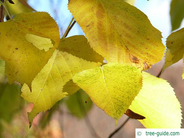 large leaved american lime(Tilia americacna 'Nova') autumn foliage