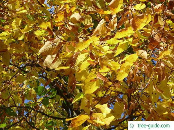 large leaved american lime(Tilia americacna 'Nova') autumn colouring