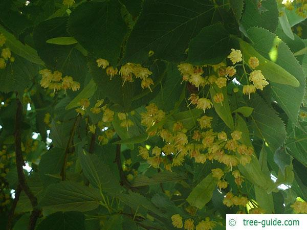 large leaved american lime(Tilia americacna 'Nova') twigs and blossoms