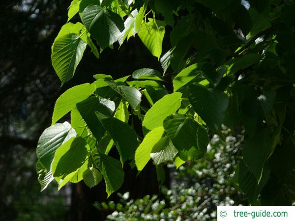 large leaved american lime(Tilia americacna 'Nova') leaves
