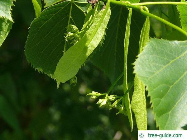 american Lime (Tilia americana) flower
