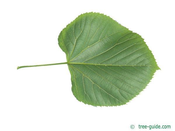 american Lime (Tilia americana) leaf underside