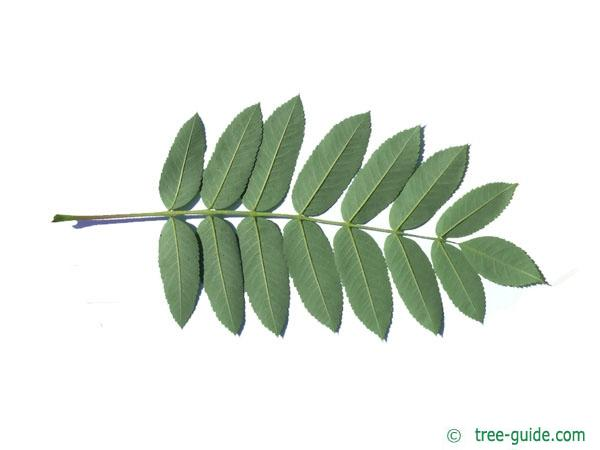 american mountain ash (Sorbus americana) leaf underside