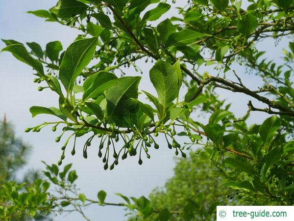 american snowbell (Styrax americanus) fruit