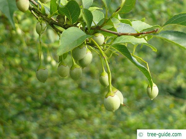 american snowbell (Styrax americanus) fruits