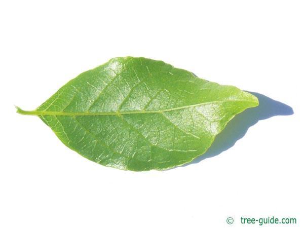 american snowbell (Styrax americanus) leaf underside