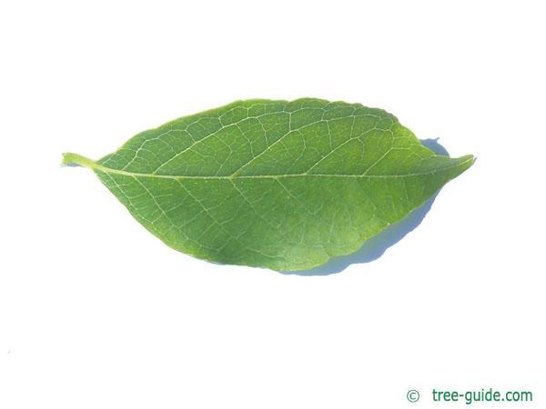 american snowbell (Styrax americanus) leaf