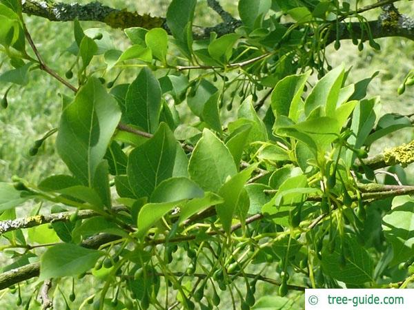 american snowbell (Styrax americanus) leaves