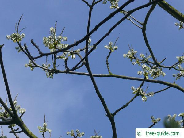 amur maackia (Maackia amurensis) budding