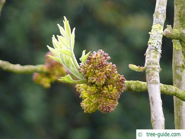 arizona ash (Fraxinus velutina) budding