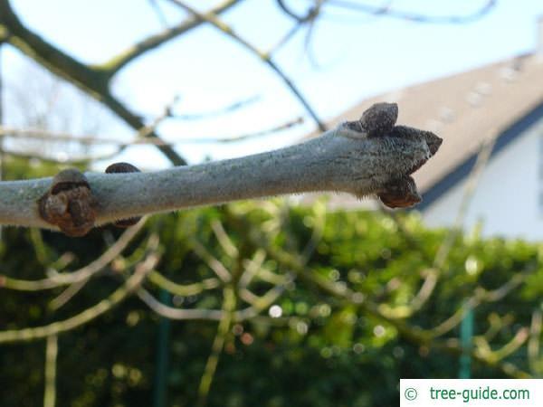 arizona ash (Fraxinus velutina) buds