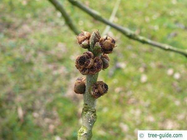 arizona ash (Fraxinus velutina) flowers