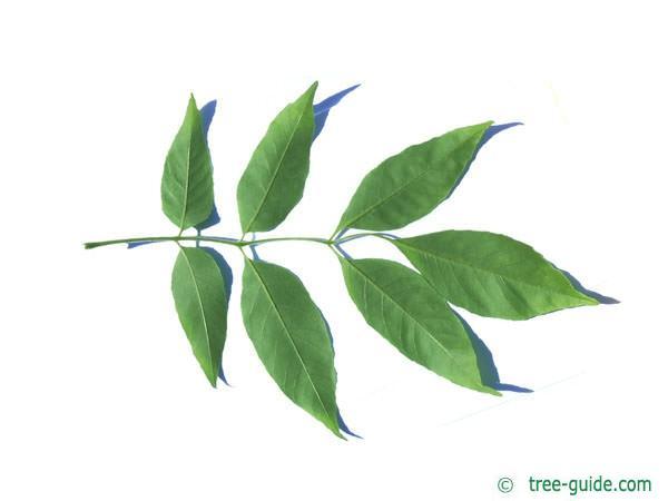 arizona ash (Fraxinus velutina) leaf underside