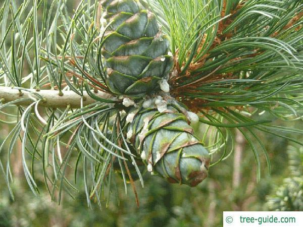 arolla  pine (Pinus cembra) young cone