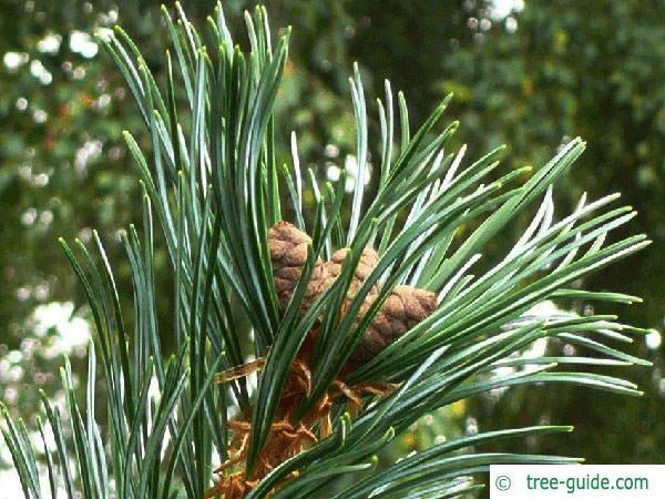 arolla  pine (Pinus cembra) flower