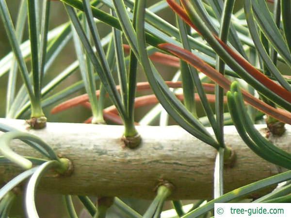 arolla  pine (Pinus cembra) needles