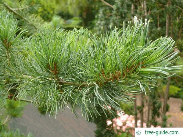 arolla  pine (Pinus cembra) branch