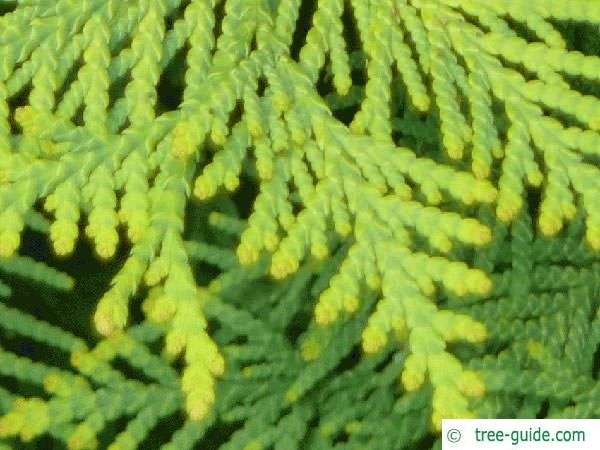 atlantic white cedar (Thuja occidentalis) needle
