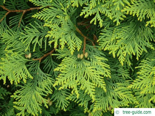 atlantic white cedar (Thuja occidentalis) branches