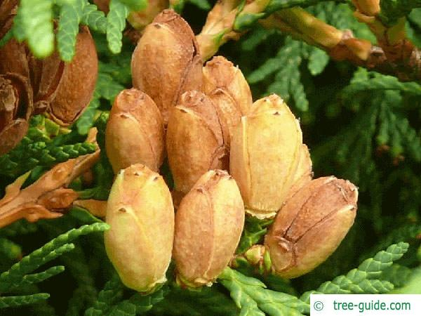 atlantic white cedar (Thuja occidentalis) cones