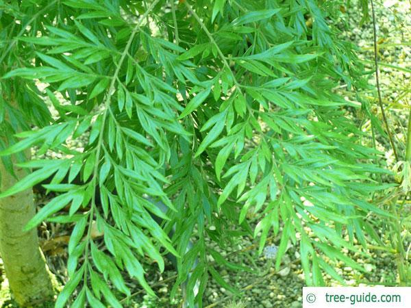 australian silver oak (Grevillea robusta) twig