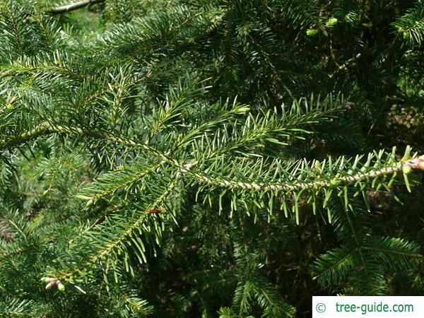 balsam fir (Abies balsamea) branches