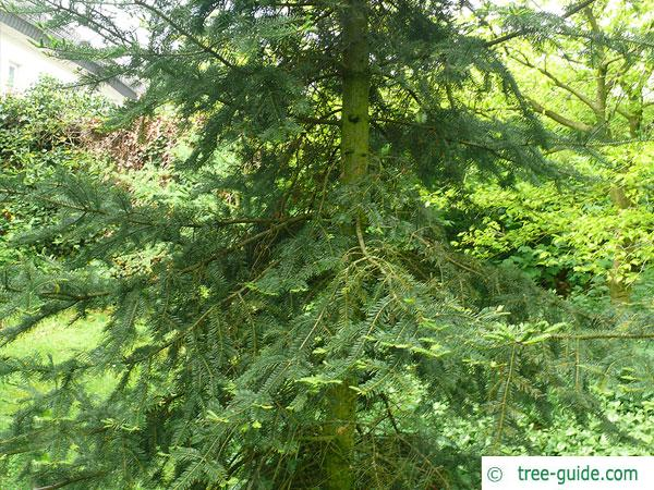 balsam fir (Abies balsamea) tree in summer