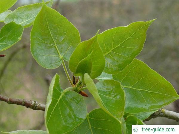 balsam poplar (Populus balsamifera) budding