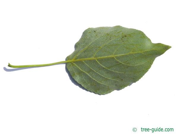balsam poplar (Populus balsamifera) leaf underside