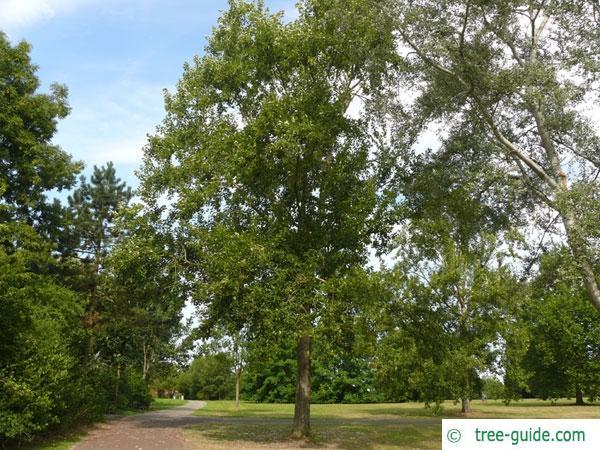 balsam poplar (Populus balsamifera) tree