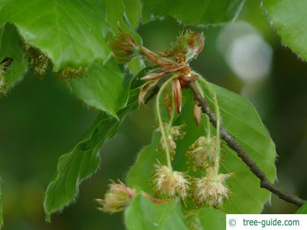 beech (Fagus sylvatica) flower m f