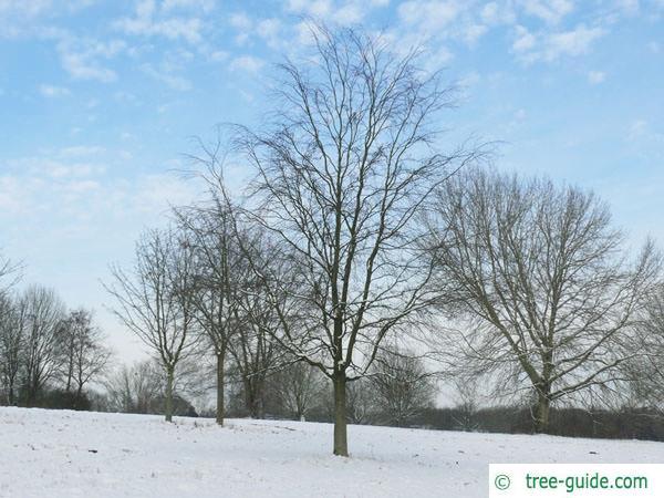 beech (Fagus sylvatica) tree