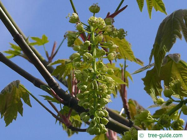 big leaf maple (Acer macrophyllum) flowers of