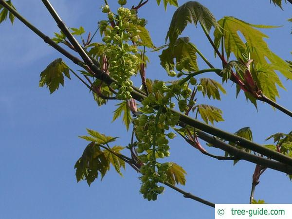 big leaf maple (Acer macrophyllum) flowers