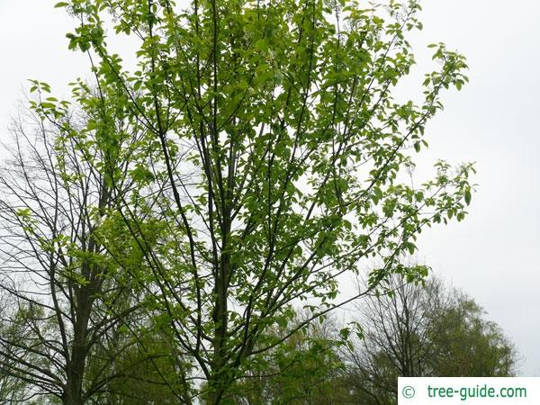bird cherry (Prunus padus) tree