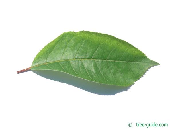 bitter berry (Prunus virginiana) leaf