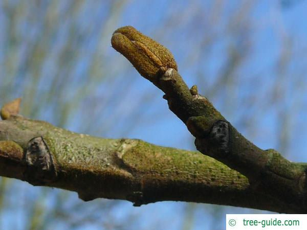bitternut (Carya cordiformis) axial bud