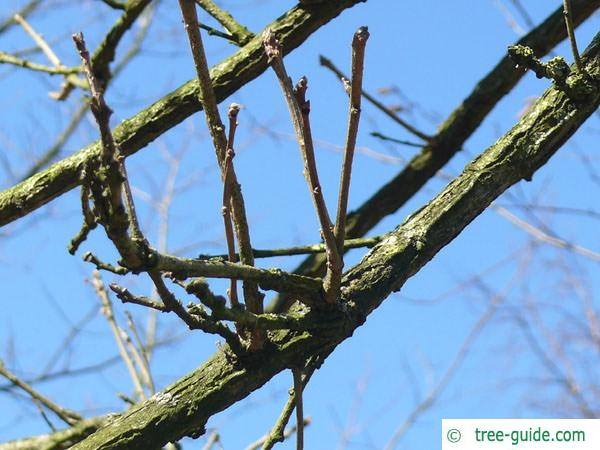 bitternut (Carya cordiformis) branches