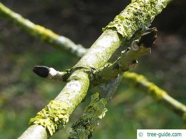 black ash (Fraxinus nigra) axial bud