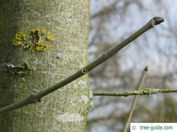black ash (Fraxinus nigra) branch