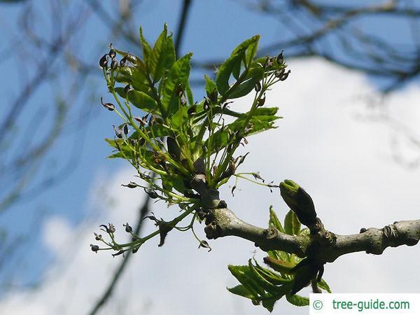 black ash (Fraxinus nigra) budding