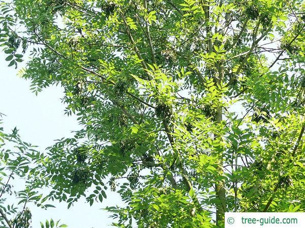 black ash (Fraxinus nigra) fruits