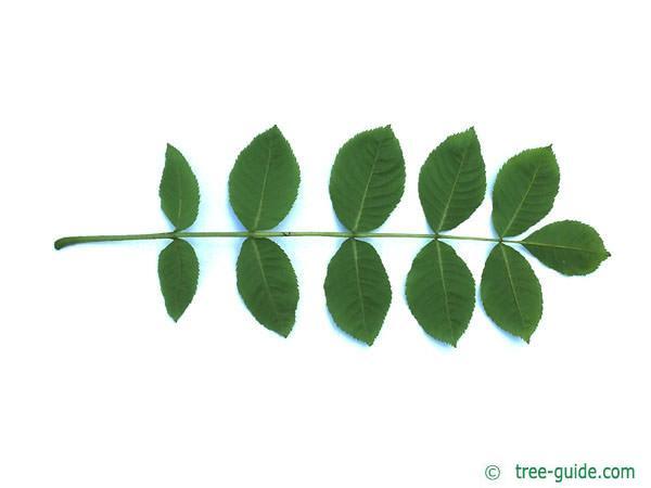 black ash (Fraxinus nigra) leaf underside