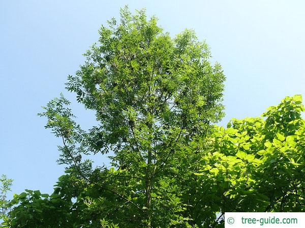 black ash (Fraxinus nigra) tree