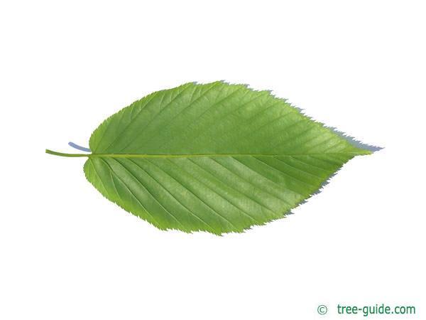 black birch (Betula lenta) leaf underside