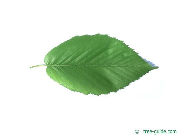 black birch (Betula lenta) leaf