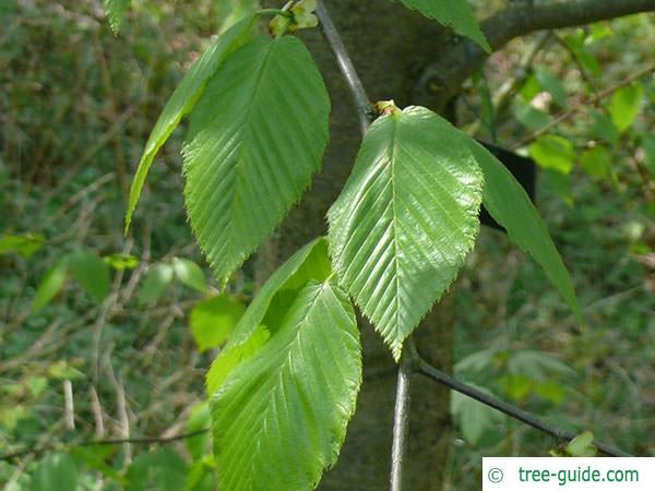 black birch (Betula lenta) leaves