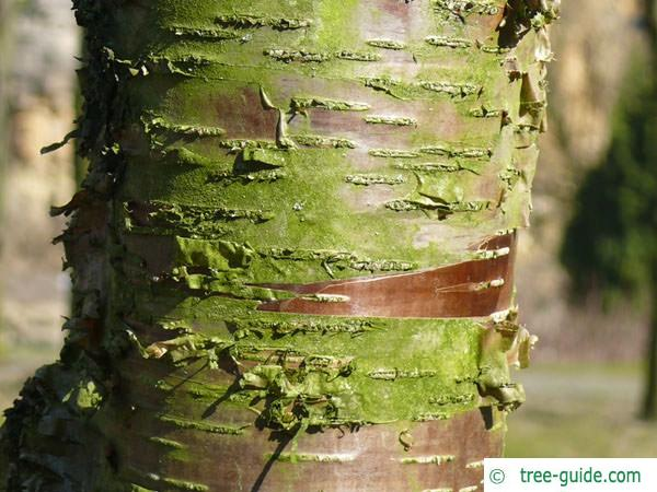 black birch (Betula lenta) trunk