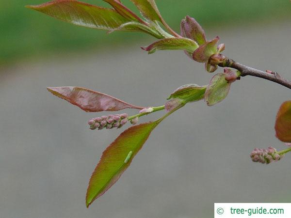 black cherry (Prunus serotina) budding