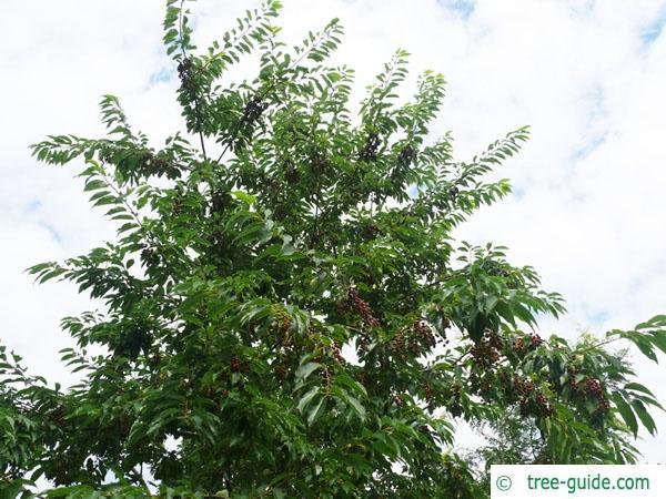 black cherry (Prunus serotina) crown in summer
